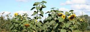 Sonnenblumen auf dem Forsthof
